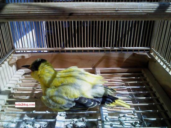 kepodang burung1