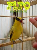 Kicau Burung Kepodang Emas Pipo, Gacorowor-owor