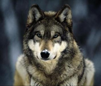 Mata Serigala