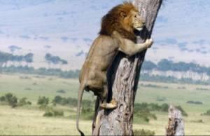 singa afrika1